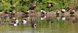 Blue-winged Teal X Northern Shoveler