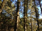 Warbler Pines