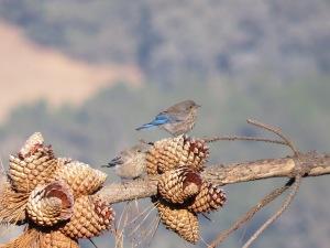 Western Bluebird (juvenile)