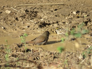 Fox Sparrow+