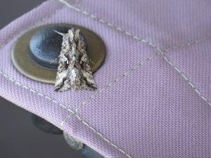 Alfalfa Looper Moth?