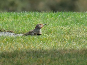 Northern Flicker (intergrade)