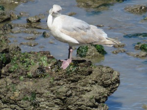 2nd cycle - Glaucous-­‐winged Gull?