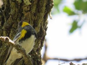 Audubon Warbler