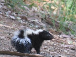 Skunk (immature?)