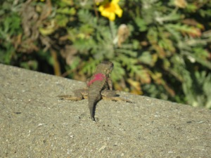 Western Fence Lizard (marked)
