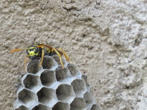 Paper Wasp?