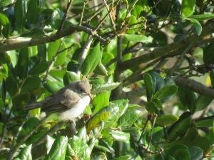 Oak Titmouse (fledge)