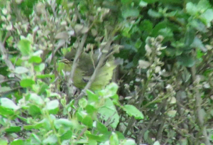 Orange-crowned Warbler (fledge)