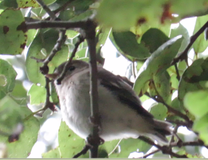 Pacific-slope Flycatcher (fledge)
