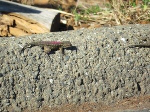 Western fence lizard (painted)