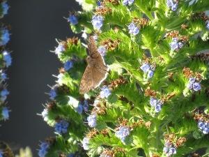 Mournful Duskywing butterfly