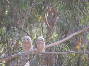 Great-horned Owl(s)