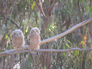 Great-horned Owl(s)