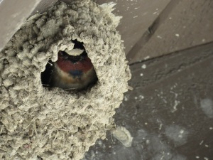 Cliff swallow (field 2 restrooms)