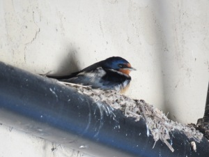 Barn Swallow (Quarry House)