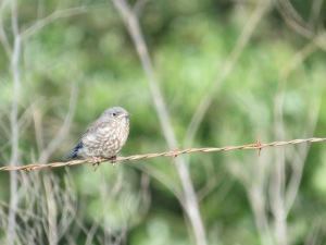 Western bluebird (fledge)