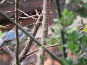 Western Scrub-Jay (fledge)