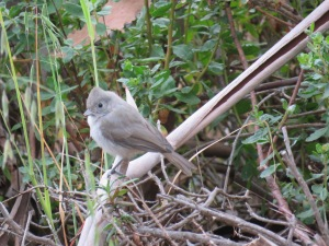 Oak Titmouse  (juvenile)