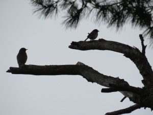 Western Bluebird + Dark-eyed Junco