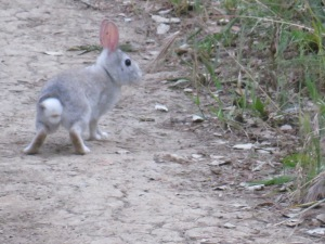 Brush rabbit (light gray?)
