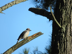 Hairy Woodpecker (juvenile)
