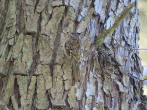 Brown Creeper (attempt #26)