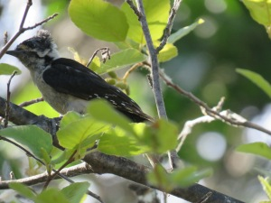Downy Woodpecker has a bad hair day