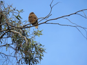 Red-tailed Hawk, Steller's Jay