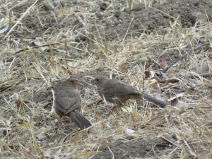 California Towhee (juvenile)