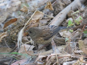 Dark-eyed Junco (juvenile)