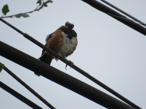 Spotted Towhee w/missing feathers