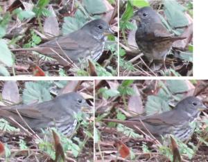 Fox Sparrow (slate-colored?)