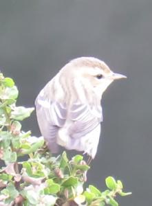 Blackburnian / Blackpoll / Mystery? warbler (tbd)