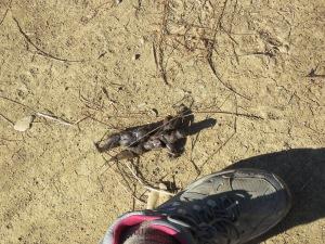 Coyote scat?