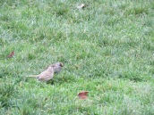 Golden-crowned Sparrow (Leucistic)