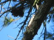 Hairy Woodpecker (f)