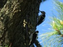 Hairy Woodpecker (m & f)