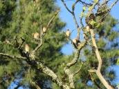 Cedar waxwings + Pine Siskin