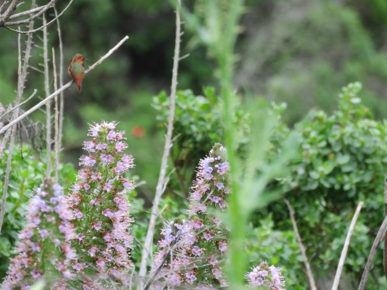 Selasphorus hummingbird (note Orange face-off in the distance)