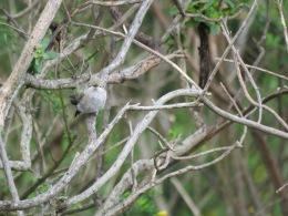 Anna's Hummingbird (subadult?)