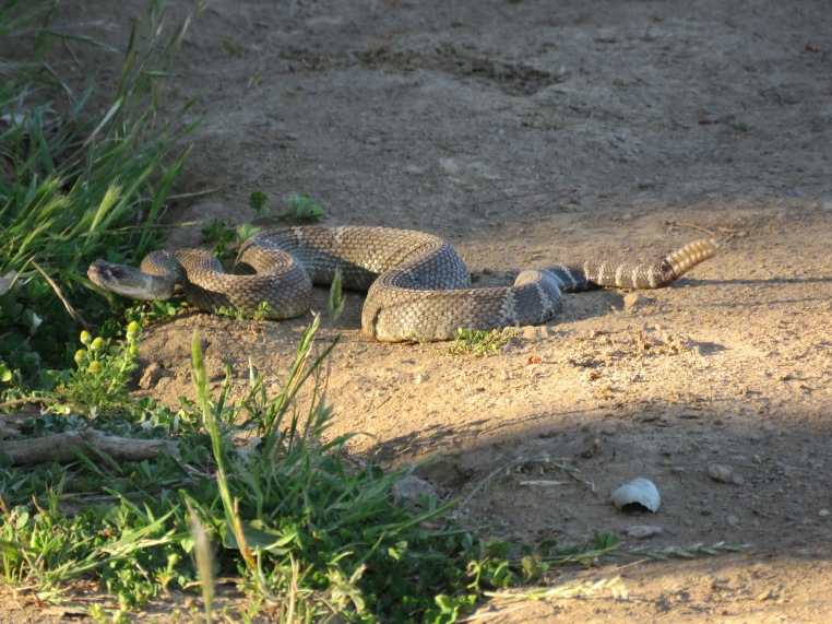 Northern Pacific Rattlesnake (3 ')
