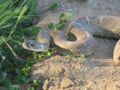 Northern Pacific Rattlesnake (3 ')
