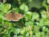 Mournful Duskywing