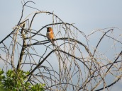 Selasphorus hummingbird