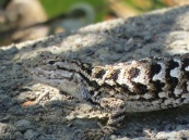 Coast Range Fence Lizard?