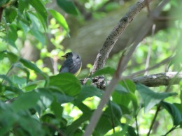 Canada warbler (female)