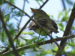 TBD (Empidonax flycatcher)
