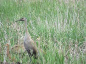 Sandhill crane (exploring muskrat lodge)