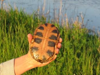 Wood turtle?
